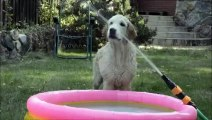 Golden Retriever puppy cools down with water hose
