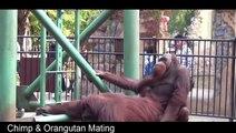 Best Animals Mating: Chimp mating - orangutan mating funny videos 2016