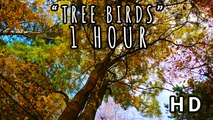 TREE BIRDS   Soothing Birdsongs in a Beautiful Forest   1 HOUR 2015 (HD)