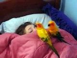 Perroquets alarme. Deux perroquets réveillent Femme