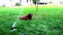 Pulvérisateurs Chiens Lawn. chiens amusant
