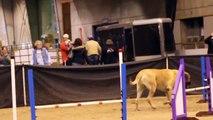 Un chien mastiff fait une course d'agility
