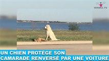 Un chien protège son camarade renversé par une voiture! L'histoire bouleversante dans la minute chien #67