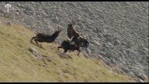 Aigle royal vs chamois