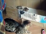 Bengal chat caressant ses chatons