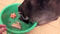 Accueil du raton laveur en essayant de laver tout!