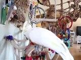 Cacatoès blanc perroquet parlant
