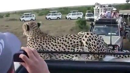 Cheetah veio para a sessão de fotos para turistas! Eles são sem palavras!