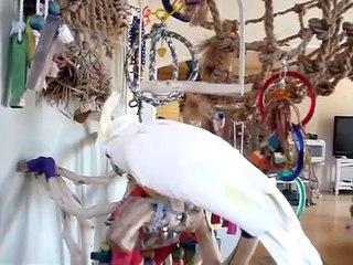 Branco Cockatoo papagaio falante