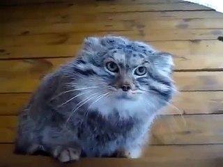 Selvagem manul gato seriamente irritado