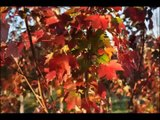 Sunset Red Maples    Fountainville  Pa     Bucks County Grower
