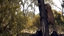 Buffalo Attack a Male Lion - Animals Documentary 2015 - Wildlife National Geographic