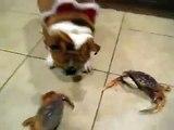 ★ DOBERMAN SE VUELVE LOCO CON UN MUÑECO ★ Perros Locos - Humor Perros Divertidos Chistosos