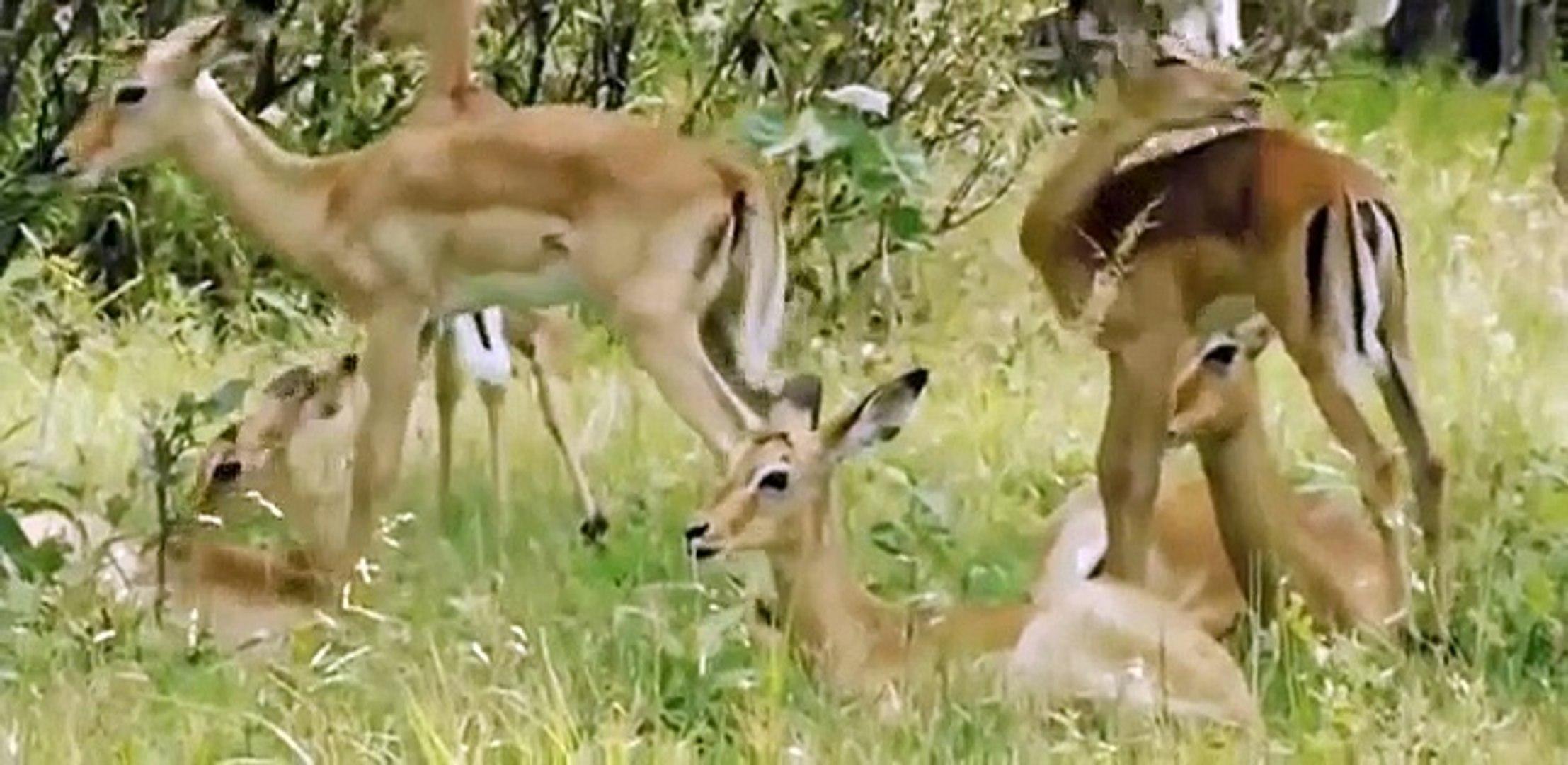 Discovery Animals - Discovery Channel 2015 - Wild Botswana Lion Brotherhood