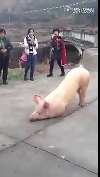 豬跪下 ,人身慚愧了