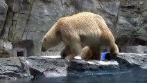 Un ourson se glisse dans l'eau à un zoo local, mais la mère de l'ourson vient rapidement en action et se précipite à la