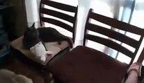 Gato Protege A Niños Del Perro!! ★ Gato divertido gato chistoso gato tierno loco risa humo