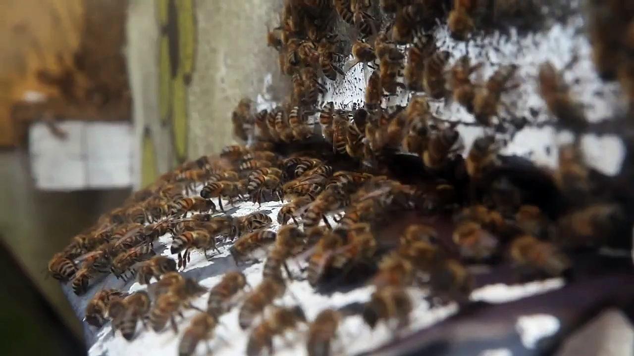 Worker HONEY BEES at the entrance of a beehive – Kuranda, Queensland, Australia