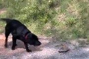 Perro Enfrenta A..Una Tortuga! ★ Perros Locos Humor Divertidos Chistosos risa