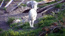 002-002-Loups