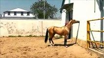 Entrainement d'un cheval étalon arabe - Impressionnant