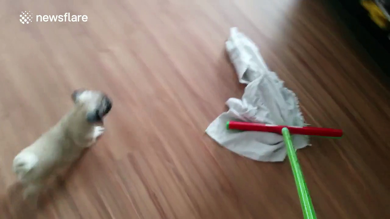 Puppy REALLY wants that rag