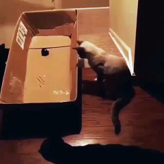Cat in Laser Chase - Failed )