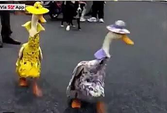 Смешные гусинки / Funny geese