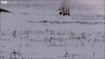 Technique de chasse d'un renard des neiges : le plongeur de poudreuse
