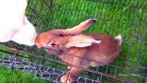 Bunny rabbits mating funny fast animals mating close up ~ Rabbit Mating
