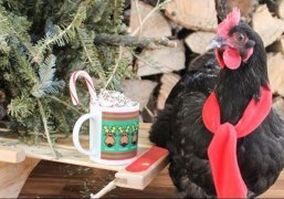 Why Did the Chicken Drink From the Christmas Mug