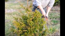 A Demo on...Trimming Your Green Giant Arborvitae