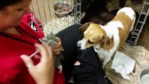 Dog Fostering Kittens Without Mother Cat...2015 video