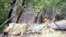 Lion Documentary National Geographic THE ULTIMATE KILLER HIT Lion Attacks Elephant