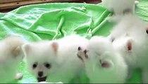 White baby dogs-Beyaz Pomeranian cute dogs