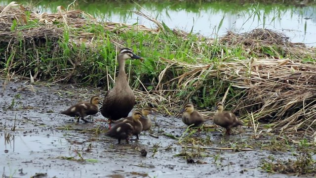At cute duck parent-child Japanese rice planting before the rice field