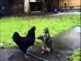 Animal Fight Black Cock Vs Pussy Very Funny