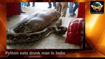 В Индии питон проглотил пьяного мужчину