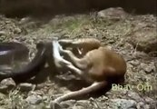 Anaconda Fight With Dangerous Tiger-Top Funny Videos-Top Prank Videos-Top Vines Videos-Viral Video-Funny Fails