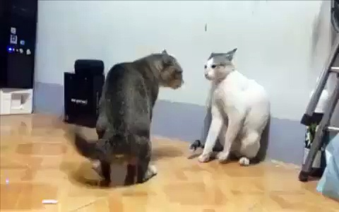 OMG ! Funny Cat Fighting Video Gone Viral-Top Funny Videos-Top Prank Videos-Top Vines Videos-Viral Video-Funny Fails