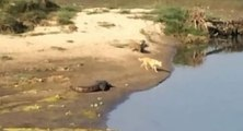 Un crocodile attaque un chien qui nage dans une rivière