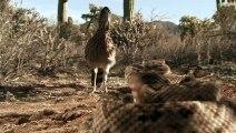 Γεωκόκκυξ - Ένα από τα πιο γρήγορα πουλιά στον κόσμο αντιμετωπίζει κροταλία