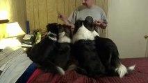Ce maître donne une récompense à chacun de ses chiens, mais ne quittez surtout pas du regard le chien à gauche