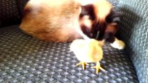 Cute Ducklings and Chicks Compilation - Funny Animals Channel