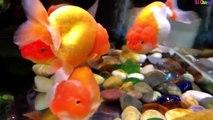 Nhạc thiếu nhi: Cá vàng bơi trong Bể nước: Hai vây xinh xinh
