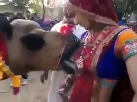 Camel drinking milk