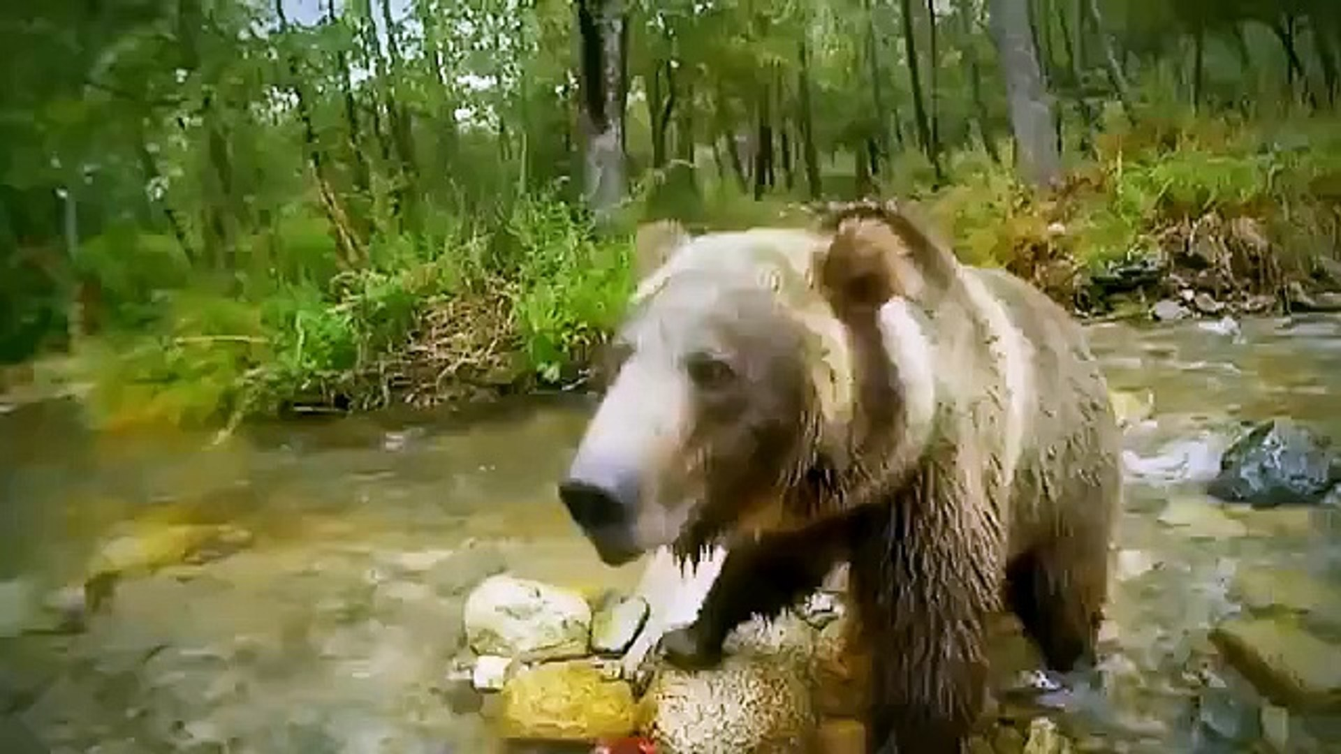 National Geographic animals - Wolves vs Grizzly Bears - Wild animals hunting documentary