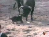 Bull terrier fight vs bull