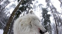 Howling Wolves - White Arctic Pack of Wolves howling