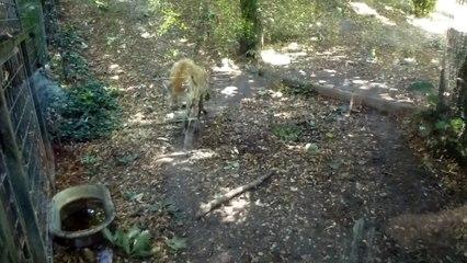 Zoo de Beauval - Une hyène en marche